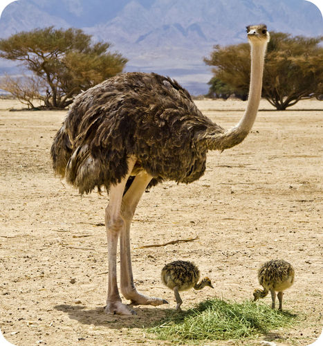 An ostrich is the largest bird on Earth