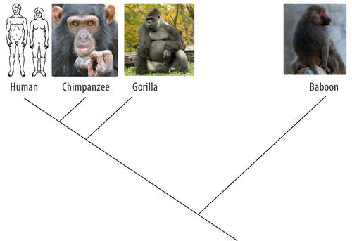 Cladogram of humans, chimpanzees, gorillas, and babbons