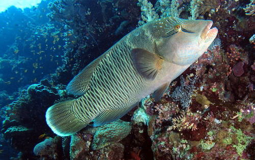 The humphead or Napoleon wrasse shows some of the general traits of fish, including scales, fins, and a streamlined body