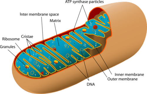 Shows the structure of a mitochondrion, which plays an important role in aerobic respiration