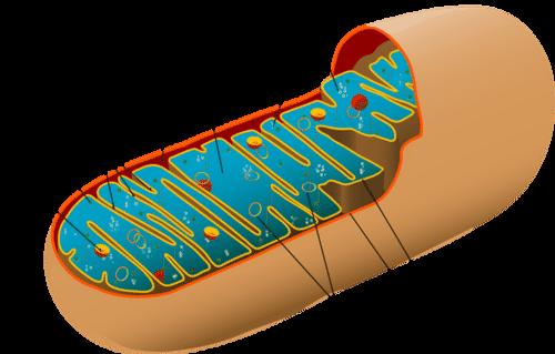 The Mitochondria in Cellular Respiration - Advanced   CK-12 FoundationCK-12
