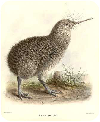 Humans caused the extinction of the kiwi bird