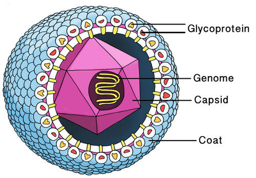 Diagram of a cytomegalovirus