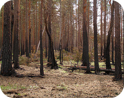 After a forest fire, a habitat slowly goes through secondary succession