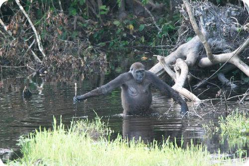 A gorilla using a stick as a tool