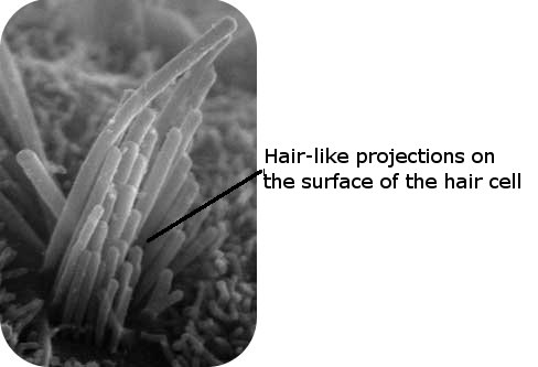 Hair cell under a microscope