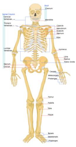 Illustration of the human skeletal system