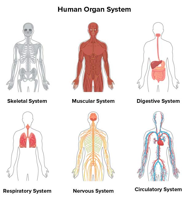 An overview of the organ systems that make up the human body