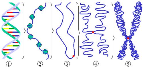 How DNA coils to make a chromosome
