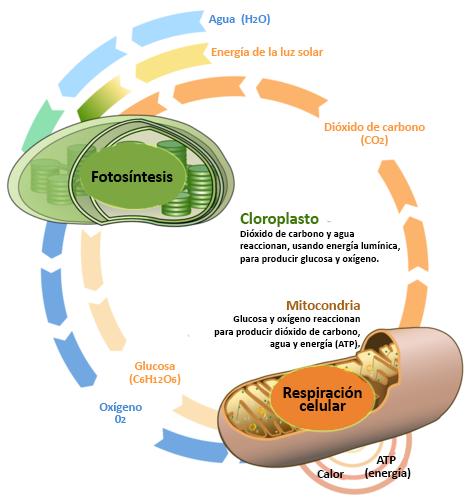 La Conexión Entre Respiración Celular Y Fotosíntesis Ck 12