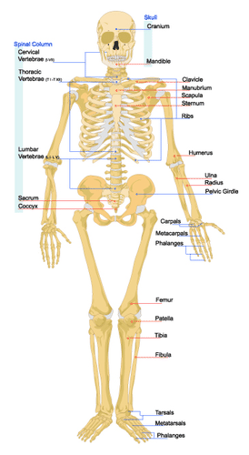 Components of the skeletal system