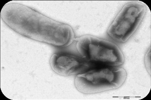 Conjugation in bacteria