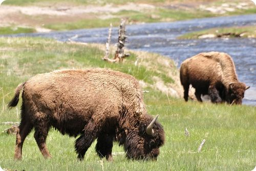 Picture of a bison in Yellowstone National Park