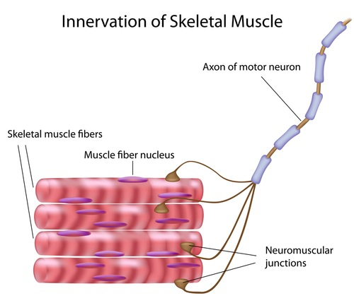 Muscle Contraction ( Read ) | Biology | CK-12 Foundation