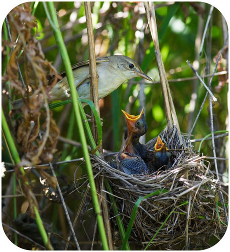 Nest of a marsh warbler with baby birds