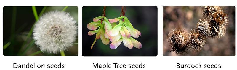 Seed adaptations: dandelion, maple, burdock