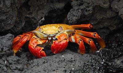 The Yeti Crab