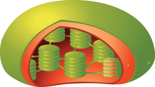 plant chloroplast cross section