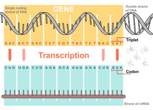 Overview of transcription of DNA to mRNA