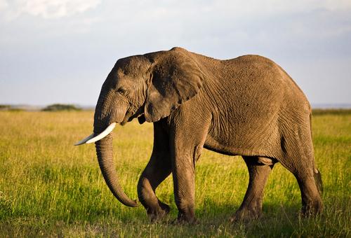Loxodonta africana: African Elephant
