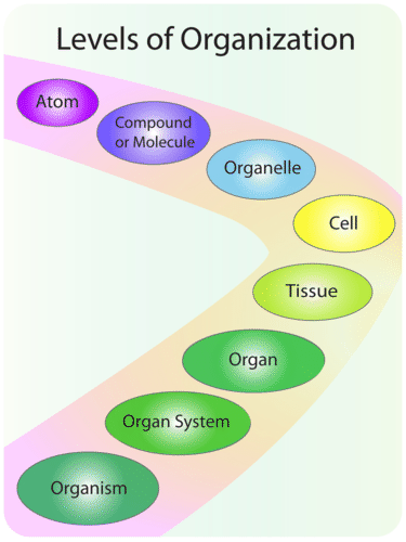 Levels of organization in an organism