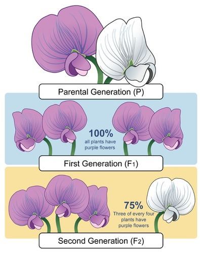 Result of Mendel's experiment with purple and white flowered plants