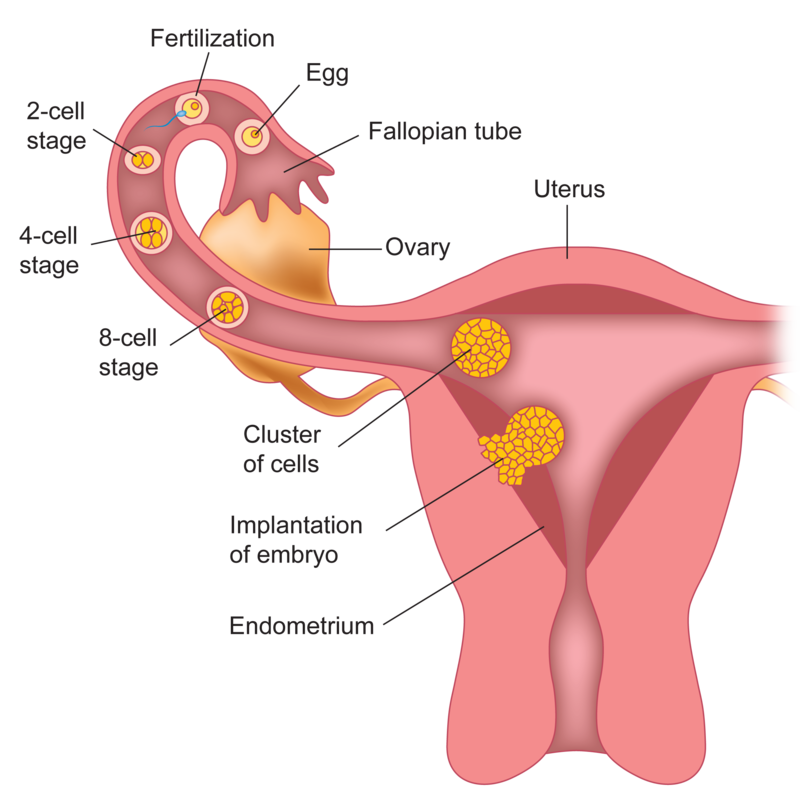 plumper-sex-path-of-sperm-and-egg-abene-nude-most