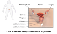 Female Reproductive System Quiz - MS LS