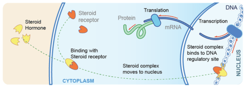 non steroid hormone mechanism