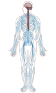 Detailed illustration of the nervous system
