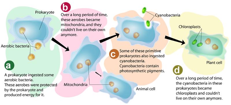 Endosymbiotic Theory Explains How Eukaryotic Cells Arose