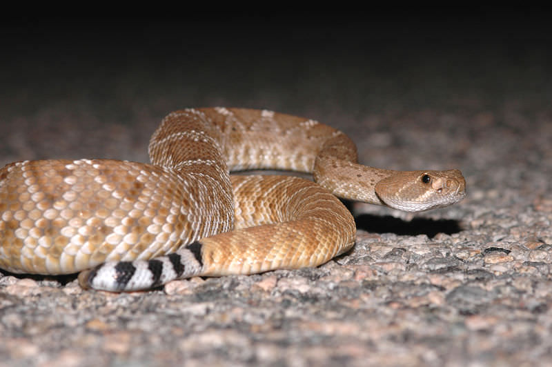 Crotalus ruber: Red Diamond Rattlesnake | CK-12 Foundation
