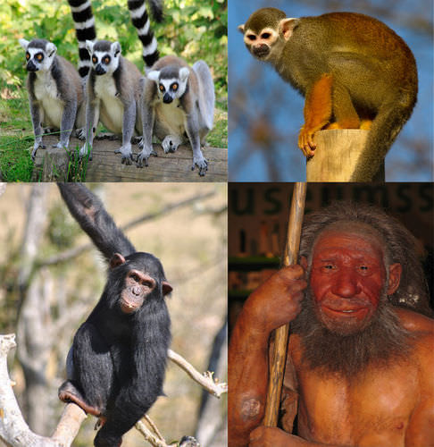 Lemurs, squirrel monkeys, chimpanzees, and Neanderthals are all primates