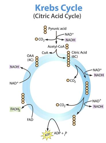 Steps of the Krebs Cycle