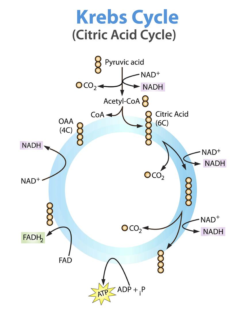 Krebs cycle ck 12 foundation each small circle in the diagram represents one carbon atom for example citric acid is a six carbon molecule and oaa oxaloacetate is pooptronica Image collections