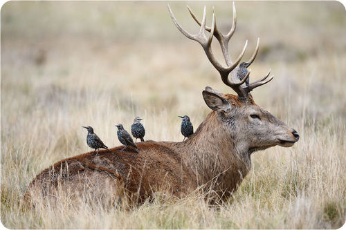 Starlings and a stag in symbiosis
