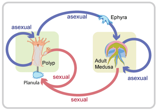General cnidarian life cycle