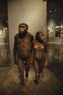 Model of Australopithecus afarensis