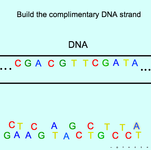 Nucleic Acids: Build the complementary DNA strand!