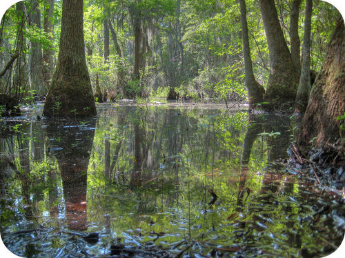 A swamp is characterized by trees in still water
