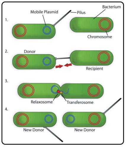 A flowchart showing bacterial conjugation.