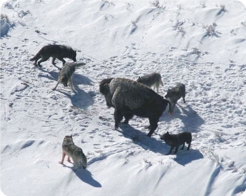 Wolves hunting together in pack