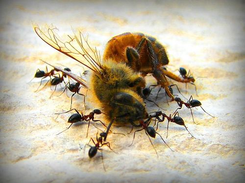 Ants cooperating to move a dead bee