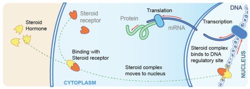 non steroid hormones bind to their receptors in the cytoplasm of the cell
