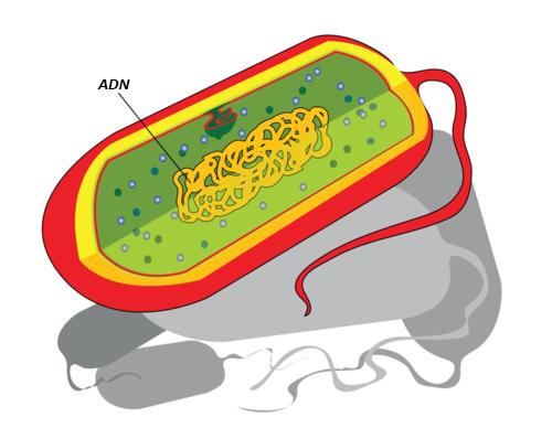 Células Procariotas Y Eucariotas Ck 12 Foundation