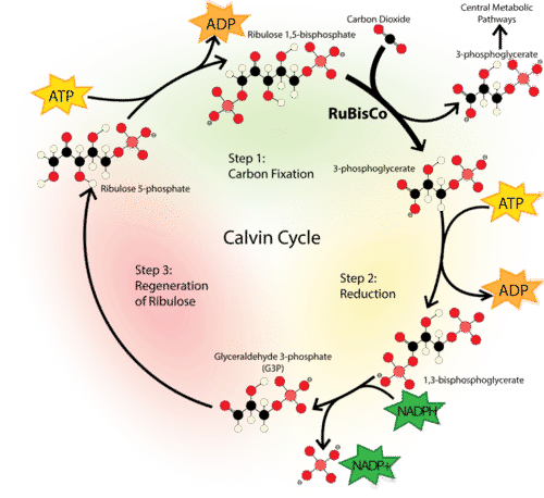 Mechanism of the Calvin Cycle
