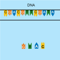 Build the complementary DNA strand!