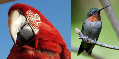 The bills of a scarlet macaw and a hummingbird