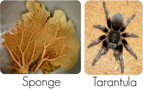 Examples of invertebrates: sponge and tarantula