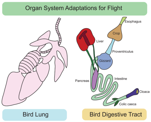 Organ system adaptations for flight